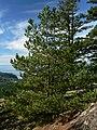 Pinus contorta 28266.JPG