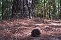 Pinus elliottii ufscar 03.jpg