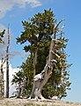 Pinus longaeva 6.jpg