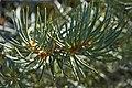 Pinus monophylla foliage.jpg