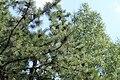 Pinus rigida foliage Nieporęt 4.JPG