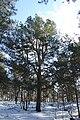 Pinus sylvestris Marki 3.JPG