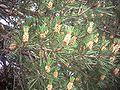 Pinus sylvestris subsp nevadensis conos.jpg