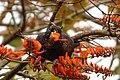 Pionus chalcopterus (Cotorra maicera) - Flickr - Alejandro Bayer (2).jpg