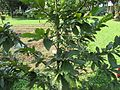 Pistacia vera (Pistachio) tree in RDA, Bogra 01.jpg