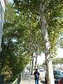 Plàtans de la carretera de Mataró-3.JPG