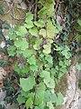 Plante grimpante inconnue à fleur jaune 4.jpg