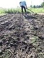 Planting beans in rows.jpg