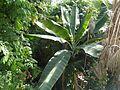 Plants in the University of Copenhagen Botanical Garden 11.jpg