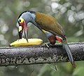 Plate-billed Mountain-toucan (47844232791).jpg