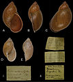 Plekocheilus (Eurytus) species in mollusc collection in Museum für Naturkunde Berlin - ZooKeys-279-001-g008.jpg