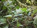 Pogostemon paniculatus (Willd.) Benth. (8287276378).jpg