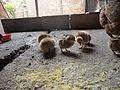 Pollitos nacidos en marzo 02.JPG