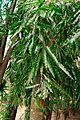 Polyalthia longifolia (Taiwan).jpg