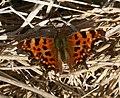 Polygonia c-album (Comma) - Flickr - S. Rae (2).jpg