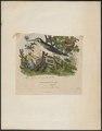 Polytmus spec. - 1837 - Print - Iconographia Zoologica - Special Collections University of Amsterdam - UBA01 IZ19100113.tif