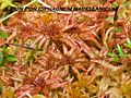 Pon- Pon Sphagnum magellanicum Brotando Nuevamente.jpeg