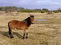 Pony on Stoney Cross Plain, New Forest - geograph.org.uk - 123554.jpg