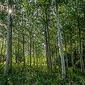 Poplars in a meadow.jpg