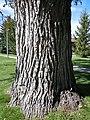 Populus deltoides (5027343104).jpg