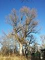 Populus nigra sl1.jpg