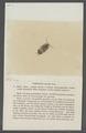 Porcellio taeniola - - Print - Iconographia Zoologica - Special Collections University of Amsterdam - UBAINV0274 098 08 0021.tif