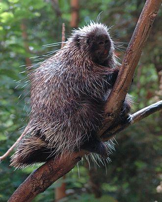 North American porcupine - Image: Porcupine Bio Dome