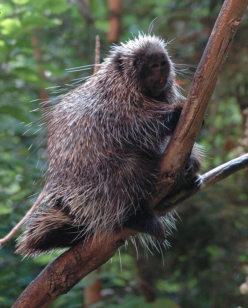 The average litter size of a North American porcupine is 1