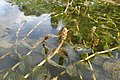 Potamogeton perfoliatus kz01.jpg