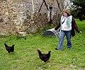 Poultry herding (498262231).jpg