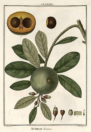 Pouteria lucuma - Image: Pouterialucuma 1
