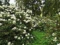 Průhonice, zámecký park, bílé rododendrony.JPG