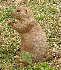 Prairie dog simple english wikipedia the free encyclopedia prairie dogs m4hsunfo