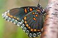 Pretty-Butterfly ForestWander.JPG
