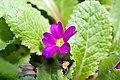 Primula juliae Wanda 1zz.jpg