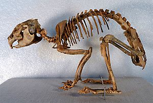 Prolagus - A Prolagus skeleton