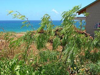 Prosopis juliflora - Young tree