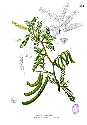 Prosopis juliflora - Parts drawing from the 1880–1883 edition of F. M. Blanco's Flora de Filipinas. Blanco already suspected that Prosopis vidaliana, then quite recently described, was identical with bayahonda blanca.