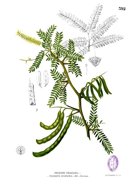 Parts drawing from the 1880–1883 edition of F. M. Blanco's Flora de Filipinas.Blanco already suspected that Prosopis vidaliana, then quite recently described, was identical with bayahonda blanca.
