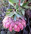 Protea sulphurea outramps-tanniedi iNat20173472c.jpg