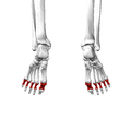 Proximal phalanges of foot05 inferior view.png
