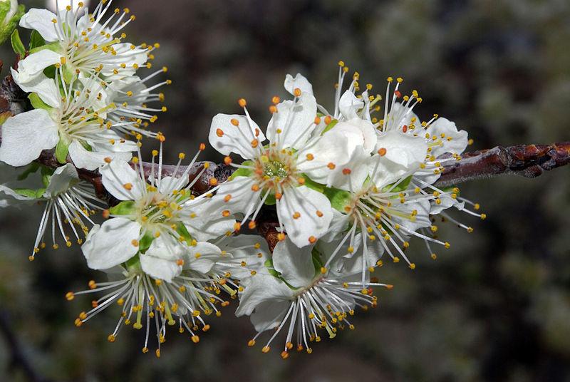 File:Prunus domestica 01 by-dpc.jpg