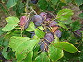 Prunus domestica 02.JPG