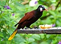 Psarocolius montezuma -near Rancho Naturalista, Cordillera de Talamanca, Costa Rica-8.jpg