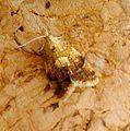 Pseudargyrotoza conwagana - Flickr - gailhampshire (2).jpg