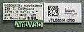 Pseudomyrmex perboscii jtlc000013790 label 1.jpg