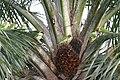 Psittacula longicauda -Botanic Gardens -Singapore-8a.jpg