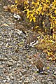 Ptarmigan in fall (39058dc1-9c4c-4a0d-bc4f-a9d4cdc9861c).jpg