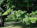 Pterocarya-fraxinifolia-leaves.JPG