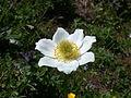 Pulsatilla alpina sstr flower.jpg